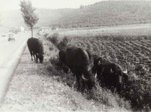 Bufali nell'Agro di Priverno, 1940